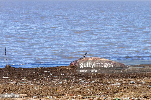 Ziphiid was found in the Buenos Aires coast : Stock Photo