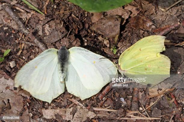 Zitronenfalter Maennchen um Weibchen werbend auf Boden sitzend verschieden sehend