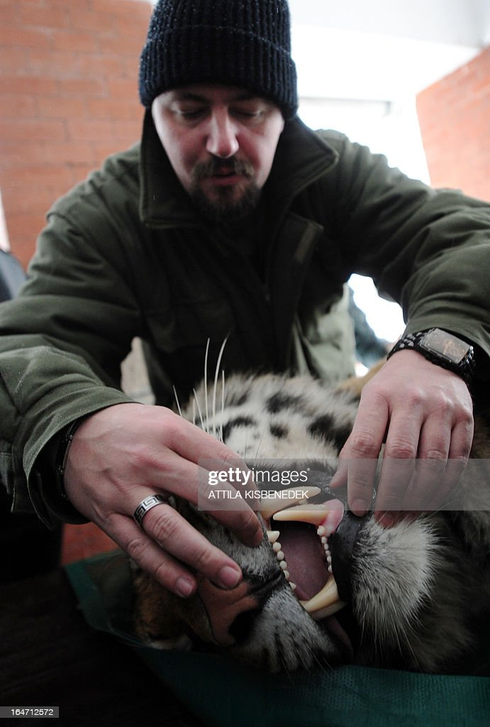 Zoltan Hanga, an official of the Budapest zoo, examines Siberian tiger 'Manu' on March 27, 2013 at the Budapest Zoo and Botanic Garden as preparations are under way for the transport of three Siberian tigers to their new home, the ZOOM Erlebniswelt in Gelsenkirchen, western Germany. The tigers were born on May 10, 2011 here at the zoo of the Hungarian capital Budapest.