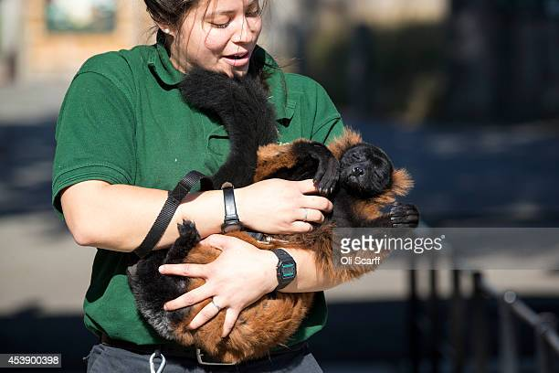 Zoo keeper Angel Lawson handles Cid an redruffed lemur who is weighed at 434kg during the annual weightin ZSL London Zoo on August 21 2014 in London...