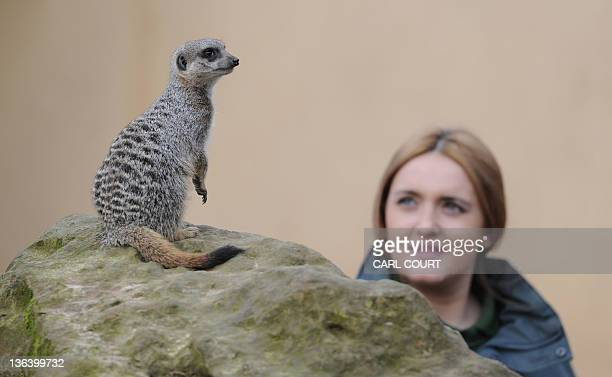 Zoo keeper Caroline Westlake poses for photographers with a meerkat during the annual stocktake at London Zoo in north London on January 4 2012 ZSL...