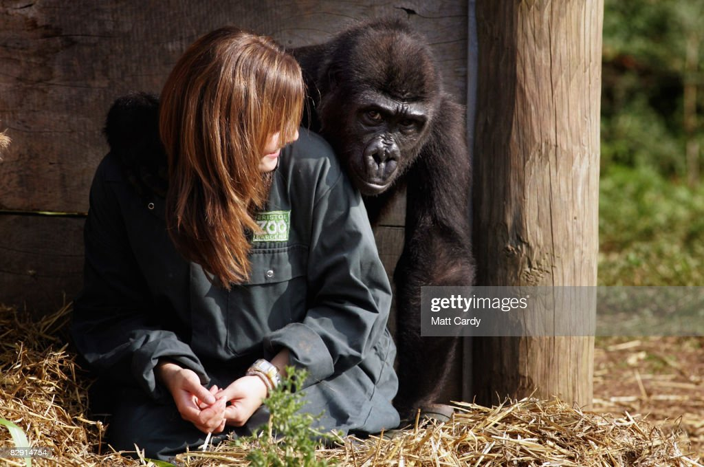 Zoo keeper Emily Pugh welcomes Bristol Zoo's latest arrival a young orphan gorilla on September 19 2008 in Bristol England The youngster called Kera...