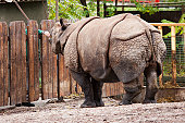 Zoo keeper feeding a Rhino