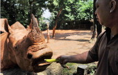 A zoo keeper feeds a banana to an adult African white rhinos in its enclosure at the Singapore Zoo on July 17 2012 Singapore Zoo currently has eight...