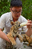 A zoo keeper feeds a Siberian tiger cub of triplets milk with a bottle at Yantai Zoo on July 4 2016 in Yantai Shandong Province of China The Siberian...