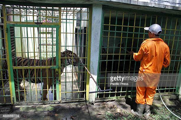 A zoo keeper feeds Sumatran tigers at the zoo in Medan North Sumatra The Sumatran tiger has become the last tiger species in Indonesia after the Bali...