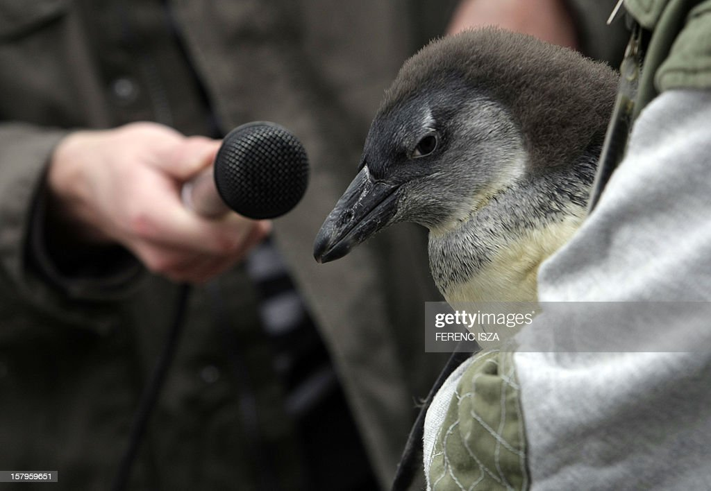 A zoo keeper holds the new born penguin (Spheniscus Demersus) as a journalist tries to record voices of the penguin in the zoo in Budapest, Hungary on December 8, 2012. Junior was born on September.