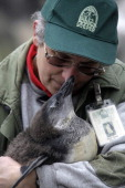 A zoo keeper holds the new born penguin in the zoo in Budapest Hungary on December 8 2012 Junior was born on September AFP PHOTO / FERENC ISZA