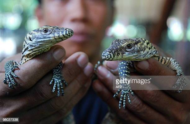 A zoo keeper holds two thirteen dayold Komodo dragons in Surabaya on March 25 2010 The Komodo dragon is the largest living lizard and can be found on...