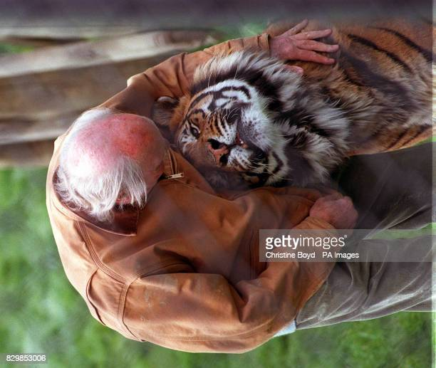 Zoo keeper John Aspinall with Jara a nineyearold female Indian tiger at Howletts Wild Animal Park near Canterbury Kent It is the first time he has...