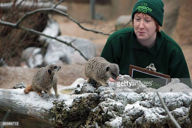 Zoo keeper Lucy Hawley makes a record of the number of Meerkats in their enclosure at London Zoo as part of the zoo's annual stocktake on January 5...