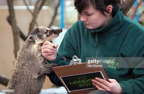 Zoo keeper Lucy Smith makes a record of the number of Coati's in their enclosure at London Zoo as part of the zoo's annual stocktake on January 5...