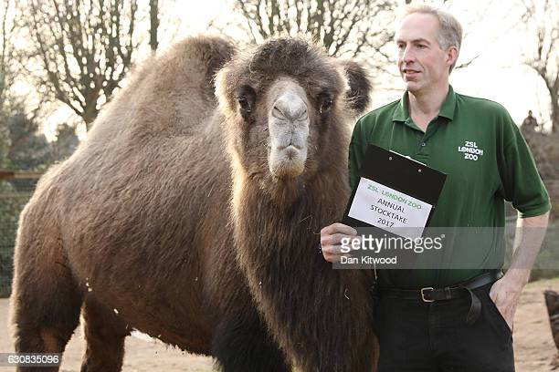 Zoo keeper Mick Tiley stands with a Bactrian Camel during a photocall at ZSL London Zoo's annual 'Stocktake' on January 3 2017 in London England...