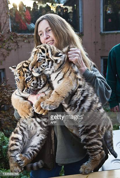 Zoo keeper Petra Oppermann carries two young tigers on November 20 2011 at the zoo in Magdeburg eastern Germany The two female tiger babies were born...