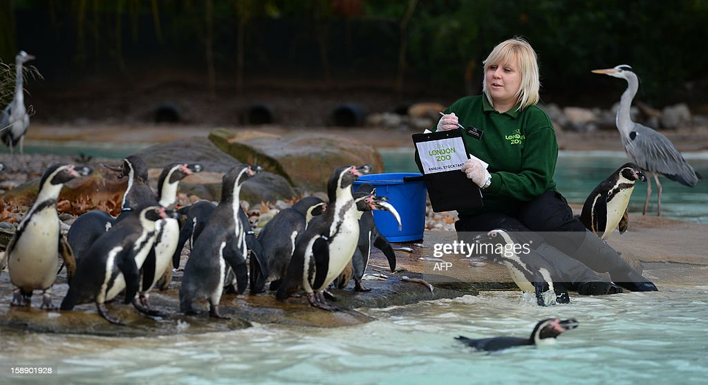 A zoo keeper poses counting penguins during the annual stocktake at ZSL London Zoo in central London on January 3, 2013. ZSL London Zoo embarked on January 3 on their annual complete head-count of every animal at the zoo, which houses over 17,000 animals. AFP PHOTO / BEN STANSALL