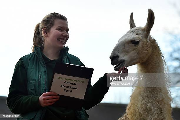 A zoo keeper poses with a llama a South American camelid during the annual stocktake photocall at London Zoo in central London on January 4 2016 The...