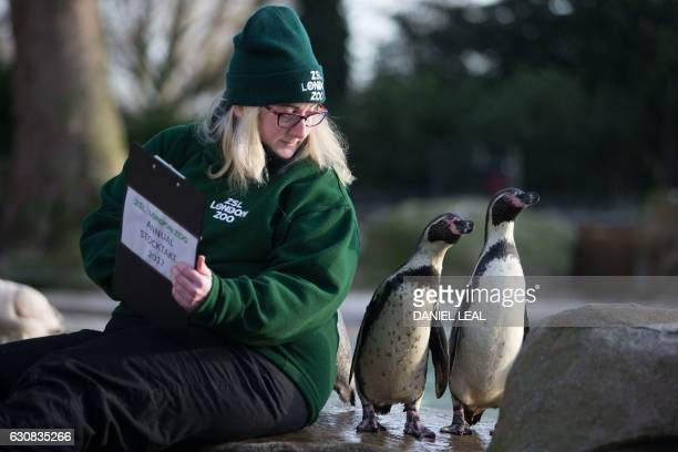 A zoo keeper poses with Humboldt penguins during the annual stocktake photocall at London Zoo in central London on January 3 2017 The compulsory...