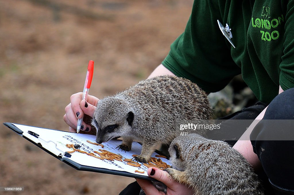 A zoo keeper poses with meerkats during the annual stocktake at ZSL London Zoo in central London on January 3, 2013. ZSL London Zoo embarked on January 3 on their annual complete head-count of every animal at the zoo, which houses over 17,000 animals.