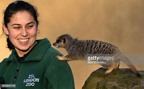 A zoo keeper poses with meerkats during the annual stocktake photocall at London Zoo in central London on January 4 2016 The compulsory annual count...