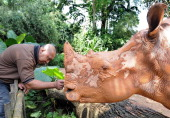 A zoo keeper taps on an adult African white rhinos in its enclosure at the Singapore Zoo on July 17 2012 Singapore Zoo currently has eight of these...