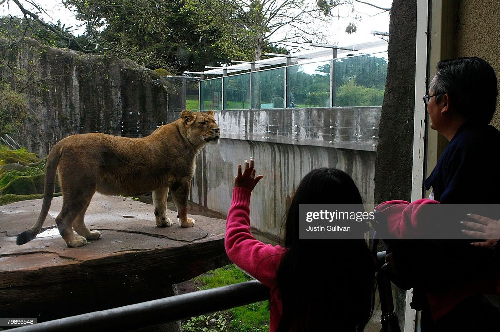 Zoo patrons look through a window at an African lion in a renovated big cat grotto at the San Francisco Zoo February 21, 2008 in San Francisco, California. The San Francisco Zoo reopened its big cat grottos for public viewing almost two months after a man was fatally mauled by a Siberian tiger that escaped from its enclosure on Christmas day. Renovations to the enclosures included an extension of the concrete moat to 16 feet, 4 inches from the bottom, installation of glazing and fencing barrier, and installation of a hot wire electric fence.