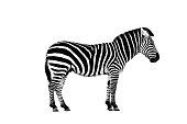 Zoo single burchell zebra isolated