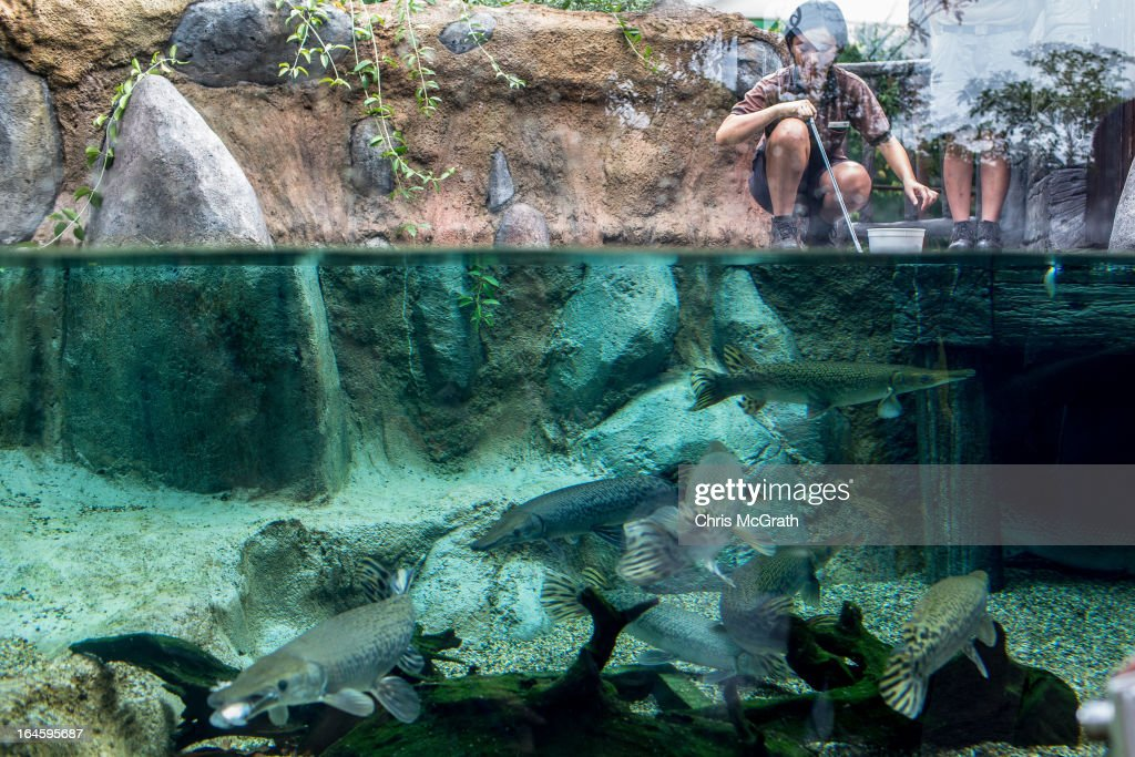 Zoo staff feed fish in the Mississippi River habitat during a media tour ahead of the opening of River Safari at the Singapore Zoo on March 25, 2013 in Singapore. The River Safari is Wildlife Reserves Singapore's latest attraction. Set over 12 hectares, the park is Asia's first and only river-themed wildlife park and will showcase wildlife from eight iconic river systems of the world, including the Mekong River, Amazon River, the Congo River through to the Ganges and the Mississippi. The attraction is home to 150 plant species and over 300 animal species including 42 endangered species. River Safari will open to the public on April 3.