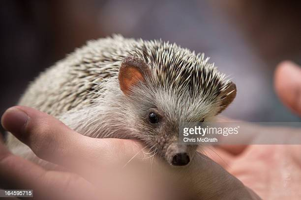 Zoo staff show off an African Hedgehog during a media tour ahead of the opening of River Safari at the Singapore Zoo on March 25 2013 in Singapore...