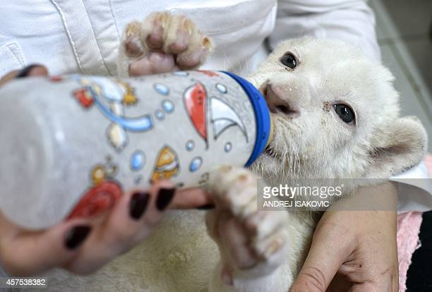 A zookeeper bottle feeds a threeweekold white lion cub at Belgrade Zoo on October 20 2014 Two white lion cubs an extremely rare subspecies of the...