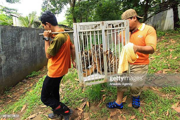 Zookeeper bring Bengal Tiger Cub in the cage after the injection of rabies vaccine at Mangkang zoo in Semarang Central Java Indonesia on January 21...