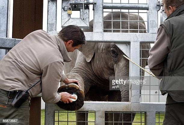 A zookeeper cleans the foot of a Asian elephant in Dierenrijk Europa zoo in Nuenen on April 9 2009 The zoo takes care for three Asian elephants...