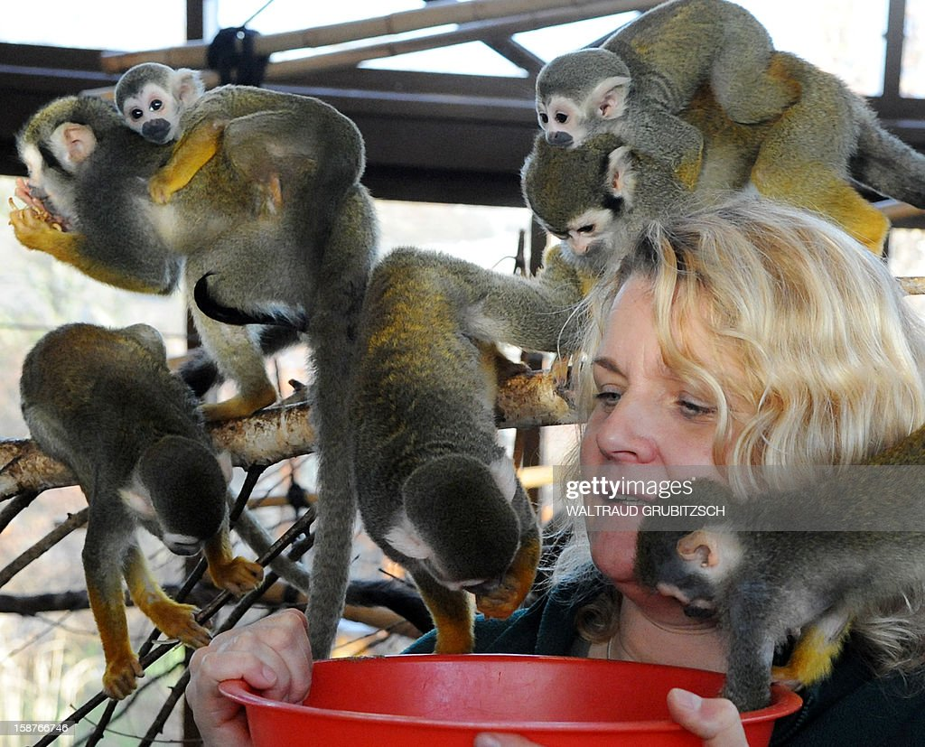 A zookeeper feeds squirrel monkeys at the zoo in Halle, eastern Germany, on December 27, 2012. Squirrel monkeys live in the tropical forests of Central and South America.