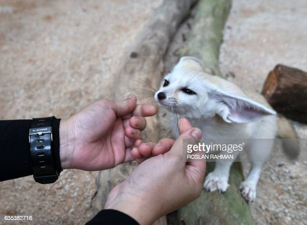 A zookeeper gestures with a young fennex fox in its enclosure at the Wildlife Reserves Singapore zoo on February 15 2017 Jurong Bird Park Night...