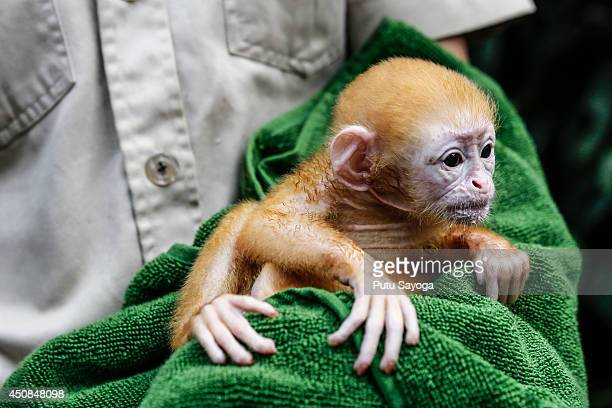 A zookeeper handles a weekold newborn baby Langur at Bali Zoo on June 19 2014 in Gianyar Bali Indonesia Javan Langurs are found in Java Bali and...