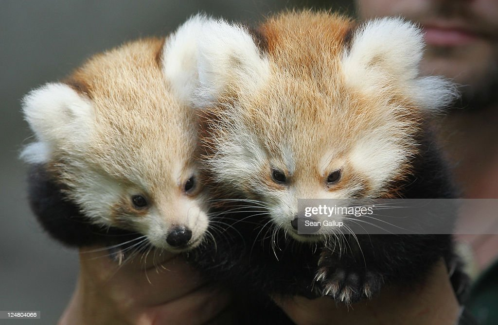 A zookeeper holds up Kit and Kitty, the twin red pandas born in June on the first day of their introduction into their new enclosure at Tierpark Zoo on September 13, 2011 in Berlin, Germany. The red panda (Ailerus fulgens) is a rare mammal native to the eastern Himalayas and southwestern China.