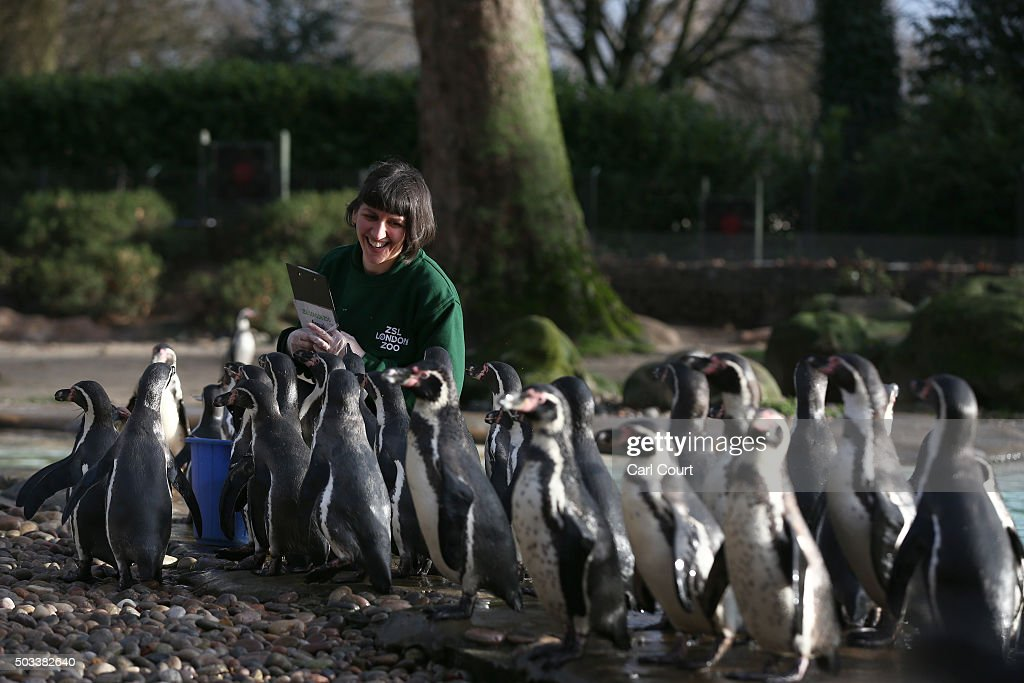 Zookeeper Janet Abreu feeds Humboldt penguins during the annual stocktake of animals at ZSL London Zoo on January 4 2016 in London England The zoo's...
