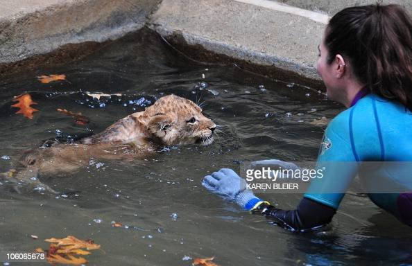 Zookeeper Kristen Clark stands by to assist a young lion cub as it tries to swim in the moat surrounding the lion habitat at the Smithsonian...
