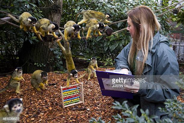 A zookeeper makes a record of the number of blackcapped squirrel monkeys during the annual stocktake photocall at London Zoo on January 5 2015 The...
