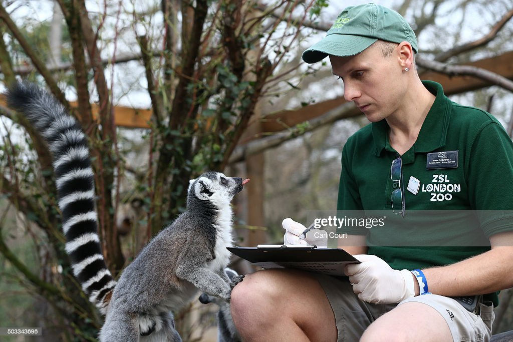 Zookeeper Marcel McKinley poses for a photograph as he counts ring tail lemurs during the annual stocktake of animals at ZSL London Zoo on January 4...