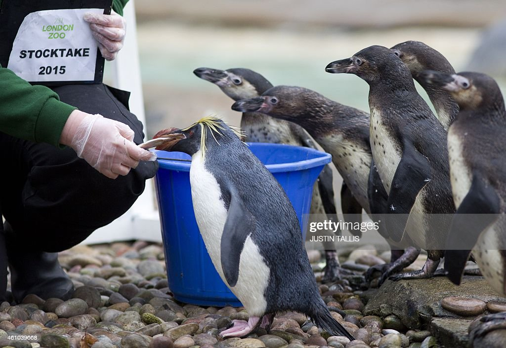 A zookeeper poses feeding the only Rockhopper penguin with Humboldts waiting their turn during the annual stocktake photocall at London Zoo on...