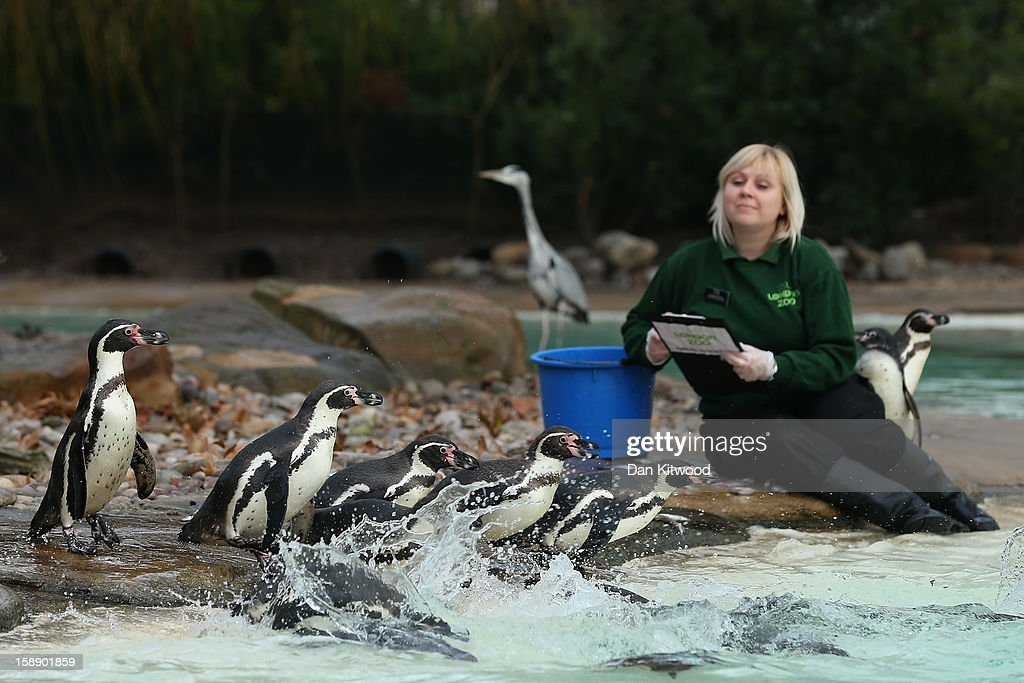A zookeeper poses with penguins during London Zoo's annual stocktake of animals on January 3, 2013 in London, England. The zoo's stocktake takes place annually, and gives keepers a chance to check on the numbers of every one of the animals from stick insects and frogs to tigers and camels.