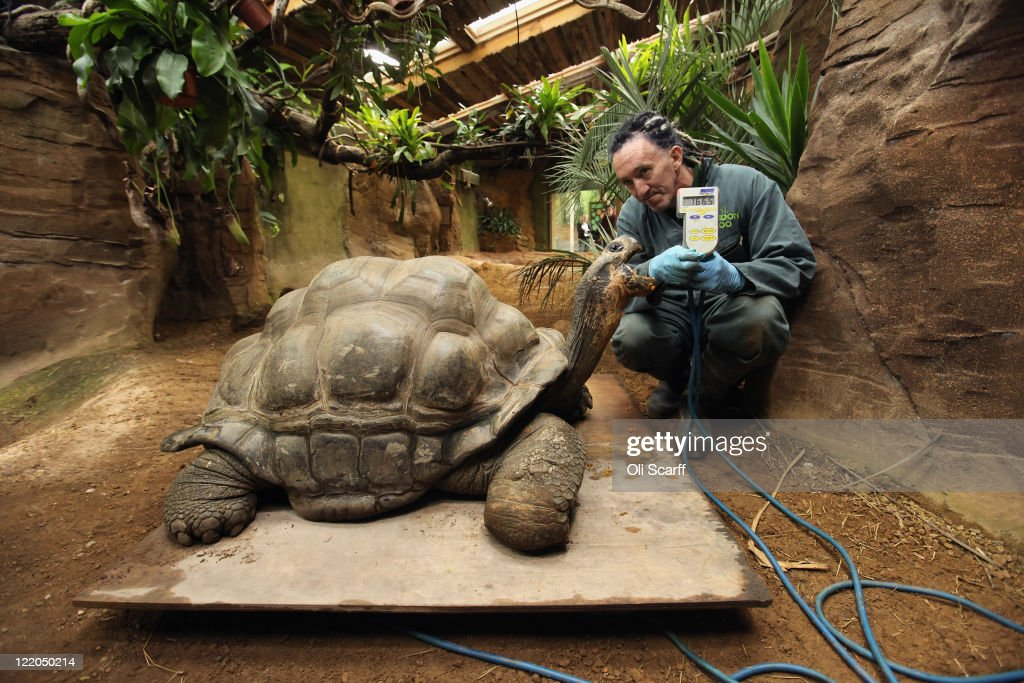 Zookeeper Sebastian Grant weighs Dirk, a giant Galapagos tortoise, at ZSL London Zoo as part of their annual weighing and measuring of their animals on August 25, 2011 in London, England. The heights and weights of over 750 different animal species at the zoo are recorded into the International Species Information System, to monitor their health and share the data with other zoos across the world.