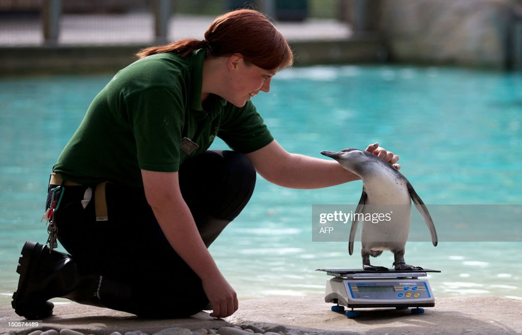 A zookeeper strokes a penguin on a scale during the annual weighin at London Zoo on August 22 2012 AFP PHOTO / ANDREW COWIE