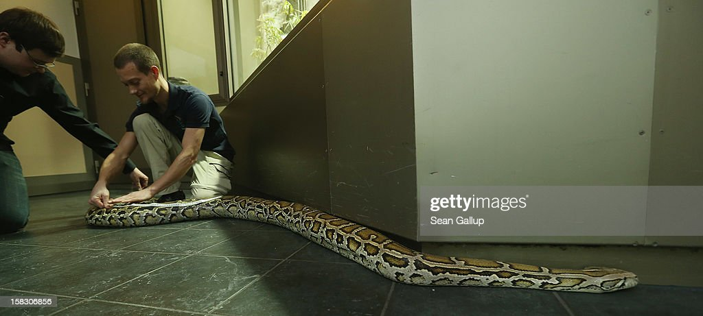 Zookeeper Thomas Warkentin (R) and biologist Benjamin Ibler measure Saskia, a Burmese python who is 3.2 meters long, during the annual animal inventory at Zoo Berlin zoo on December 12, 2012 in Berlin, Germany. The zoo conducts the once-a-year inventory over a period of several months, depending on the species, to assess such factors as the state of animal colonies, the presence of foreign species and the true number of species and their members.