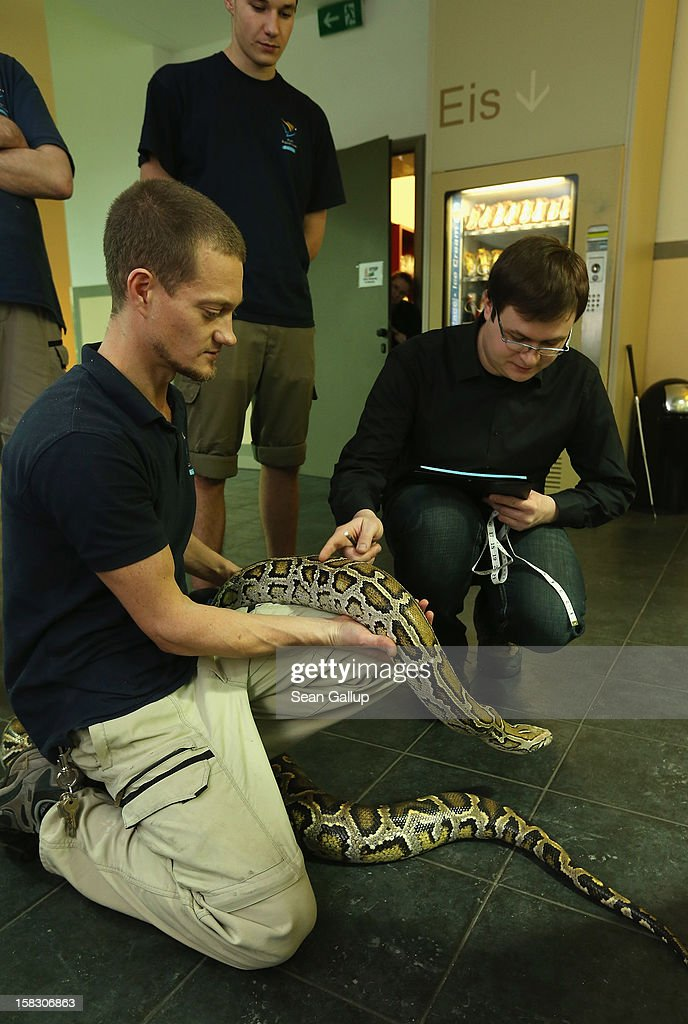 Zookeeper Thomas Warkentin (L) and biologist Benjamin Ibler (R) measure Saskia, a Burmese python who is 3.2 meters long, during the annual animal inventory at Zoo Berlin zoo on December 12, 2012 in Berlin, Germany. The zoo conducts the once-a-year inventory over a period of several months, depending on the species, to assess such factors as the state of animal colonies, the presence of foreign species and the true number of species and their members.