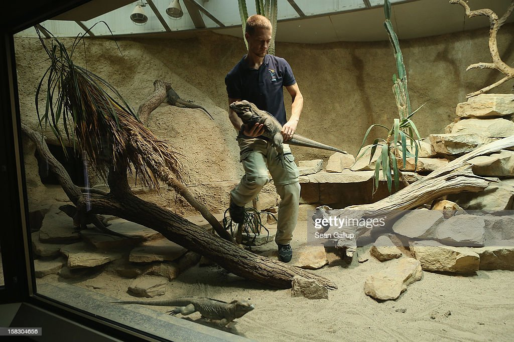 Zookeeper Thomas Warkentin carries a live rhinoceros iguana in order to measure it during the annual animal inventory at Zoo Berlin zoo on December 12, 2012 in Berlin, Germany. The zoo conducts the once-a-year inventory over a period of several months, depending on the species, to assess such factors as the state of animal colonies, the presence of foreign species and the true number of species and their members.