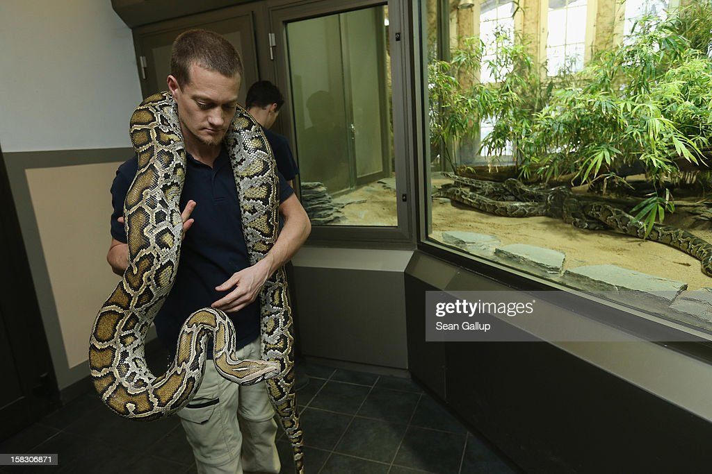 Zookeeper Thomas Warkentin carries Saskia, a Burmese python who is 3.2 meters long, before measuring the snake during the annual animal inventory at Zoo Berlin zoo on December 12, 2012 in Berlin, Germany. The zoo conducts the once-a-year inventory over a period of several months, depending on the species, to assess such factors as the state of animal colonies, the presence of foreign species and the true number of species and their members.