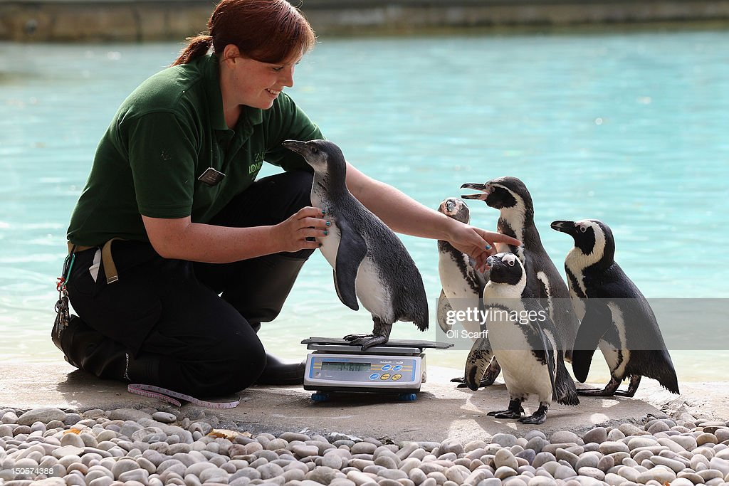 Zookeeper Vicky Fyson at ZSL London Zoo weighs and measures penguins during the zoo's annual weighin on August 22 2012 in London England The height...