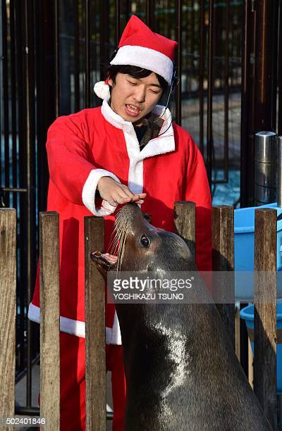 A zookeeper wearing a Santa Claus costume feeds fish to a sea lion at the Ueno zoological garden in Tokyo on December 24 2015 The event was part of...