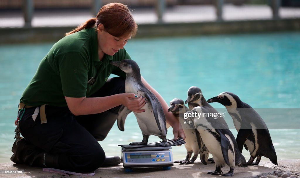 A zookeeper weighs a penguin on a scale during the annual weighin at London Zoo on August 22 2012 AFP PHOTO / ANDREW COWIE